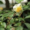 Camellia sinensis-IMG 3444.jpg