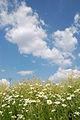 Camomile Colza Clouds.jpg