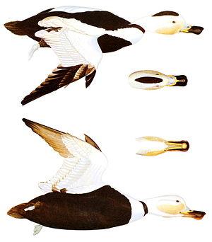 Labrador duck - Diagram of the male