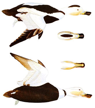 Labrador duck - Diagram of the male
