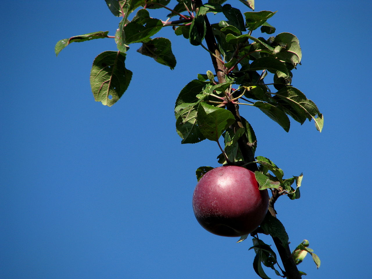 apple picking windsor ontario Jesuit pear trees - time for a revival the french planted the first orchards and ate the fruit fresh originally from windsor, ontario.