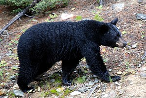 Black bear in the Canadian Rockies