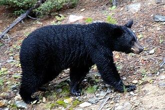 Fauna of California - Image: Canadian Rockies the bear at Lake Louise