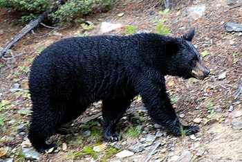 English: Black bear in the Canadian Rockies