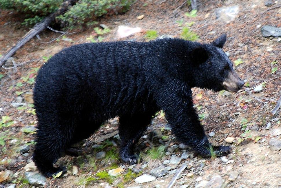 Canadian Rockies - the bear at Lake Louise