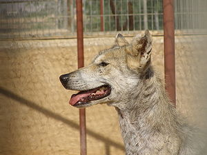 Canis lupus female head.JPG