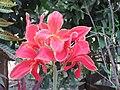 Canna indica Wild Canna Lily - Kanichar (3).jpg