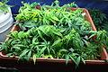 Cannabis Clones in Box.JPG