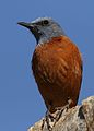 Cape Rock Thrush, Monticola rupestris, at Walter Sisulu National Botanical Garden, Gauteng, South Africa (28788462533).jpg