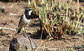 Capped Wheatear, Oenanthe pileata at Suikerbosrand Nature Reserve, Gauteng, South Africa (15179620701).jpg