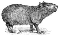 Capybara.png