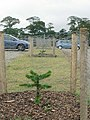 Car Park with young monkey puzzles, Trevarno - geograph.org.uk - 222592.jpg