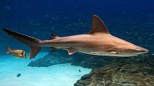 Sandbar shark - Image: Carcharhinus plumbeus georgia