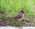 Cardinal2 (34637089575).jpg