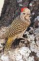 Cardinal Woodpecker - MALE, Dendropicos fuscescens at Pilanesberg National Park, Northwest Province, South Africa (15091619852).jpg