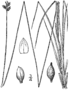 Carex albicans BB-1913.png