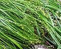 Carex brunnescens var sphaerostachya.jpg