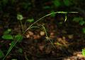 Carex sylvatica 01.jpg