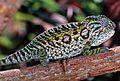 Carpet Chameleon (Furcifer lateralis) female (7636716522).jpg