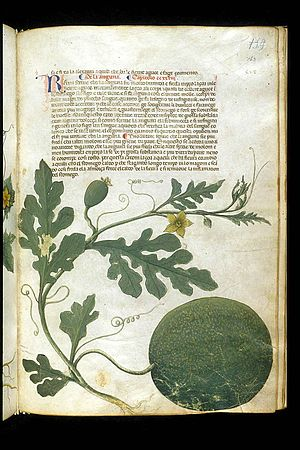 "Serapion the Younger - Plate depicting a melon from the ""Carrara Herbal"", date circa 1400, an Italian translation of a Latin translation of the book of medicaments of Serapion the Younger"