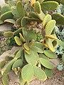 Caryophyllales - Opuntia microdasys - 1.jpg