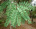 Cassia abbreviata, loof, Manie van der Schijff BT, a.jpg
