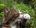 Cat licking its paw.jpg