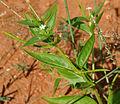 Catharanthus pusillus (Tiny Periwinkle) W IMG 3207.jpg