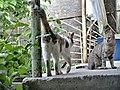 Cats in Yerevan, 09052018 (1).jpg