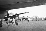 Cattle grazing amongst Junkers Ju 88 bombers awaiting disposal at Flensburg airfield in Germany, 2 August 1945 CL3306.jpg