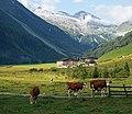 Cattle in Zillertal.jpg