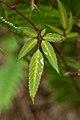 Cayratia formosana (WilsonKao) 001.jpg