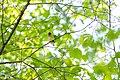 Cedar waxwing (17606216839).jpg