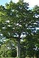 Ceiba (Ceiba pentandra) (14580848384).jpg