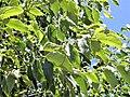Celtis australis. Llurganeru.jpg