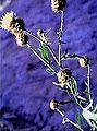 Centaurea tauromenitana.jpg