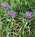 Centaurea triumfettii 2 RF.jpg