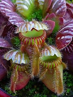 <i>Cephalotus</i> genus of plants