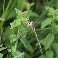 Ceratogomphus pictus 019568-2.jpg