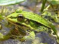 Cerkniško jezero - zelena žaba (Pelophylax esculentus).jpg