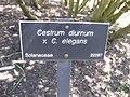 Cestrum diurnum × Cestrum elegans 003.jpg