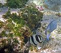 Chaetodon striatus (banded butterflyfish) (San Salvador Island, Bahamas) 3 (16169896761).jpg