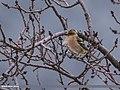 Chaffinch (Fringilla coelebs) (31840009412).jpg