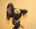 Challenger - Bald Eagle (10593853985).jpg