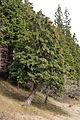 Chamaecyparis obtusa 01.jpg