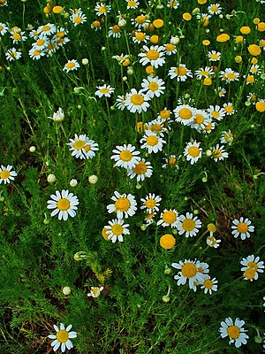 Chamomile In Your Garden Bio Sil South Africa