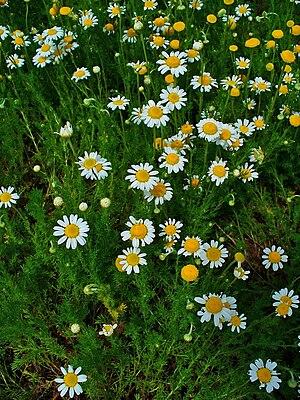 Chamaemelum nobile, Asteraceae, Roman Camomile...