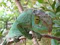 Chameleon, Parc Endemika (3957841167).jpg