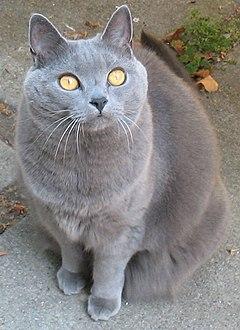Chartreux cat j adult female 001