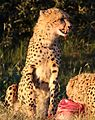 Cheetah, Acinonyx jubatus, at Pilanesberg National Park, Northwest Province, South Africa. (27308982270).jpg